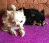 🐾 Chihuahua Rüde - Achim
