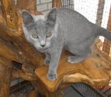 Chartreux-Kartäuser-Katzen - Ovelgönne