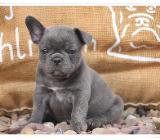 Französische Bulldoggenwelpen - Zeven