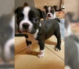 Boston Terrier Welpen - Bremen Neustadt