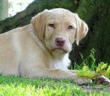 Traumhafte Labrador Retriever Welpen abzugeben in blond & foxred - Lindern (Oldenburg)