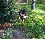 Sennenhund Welpen - Gnarrenburg