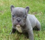 Französische Bulldoggen  von Tierheilpraktikerin - Fintel