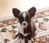 Chihuahua Welpen zu Verkaufen - Bremen Huchting