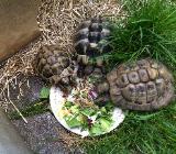 Griechische und russische Landschildkröten zu verkaufen - Bremen