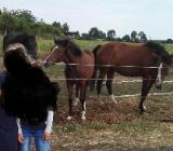 Gesucht: Erfahrene Hilfe für 3 Reit- und Wagenpferde - Zeven