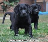 Wesensfeste Labradorwelpen in schwarz - abgabebereit ab 20.08. - Rehden