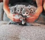 5 süße BKH Kätzchen - Emstek