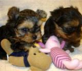 Yorkshire Terrier Welpen black and tan mini mit Stammbaum - Bremen Woltmershausen