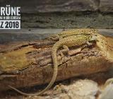 Grüne Ruineneidechse, Podarcis siculus campestris, NZ 2018 abzugeben - Oldenburg (Oldenburg) Ohmstede