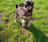 Verkaufe 3 Chihuahua-rehpinscher Welpen - Cloppenburg