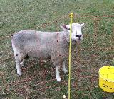 Schafsbock zu verkaufen - Weyhe