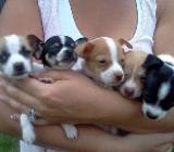 Bischon Gechipt Babys Chihuahua Typvolle Welpen Reinrassige - Weyhe