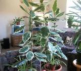 Gummibaum (Ficus elastica) als Zimmerpflanze - Visselhövede