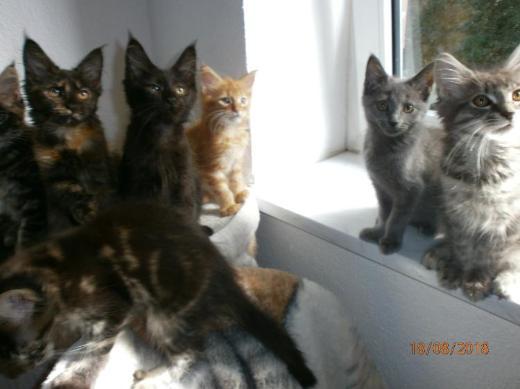 Schmuseclowns< reinrassige Maine Coon Kitten< liebevolle Hände