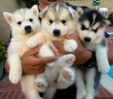 &&&& Siberian Husky Welpen mit blauen Augen &&&& - Hechthausen