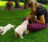 Golden Retriever Welpen in creme-weiß! - Worpswede