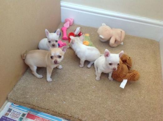 Mini und Mini Mädchen Chihuahua Welpen mit außergewöhnlich schöner Färbung