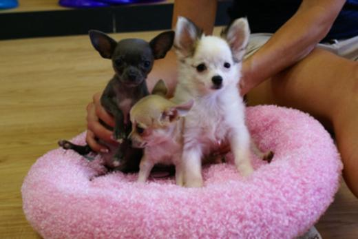 Super süße Chihuahua Welpen LH suchen Kuschelcouch