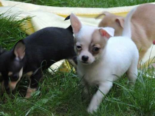 Weibliche und männliche Labrador Retriever Welpen zur Annahme!!