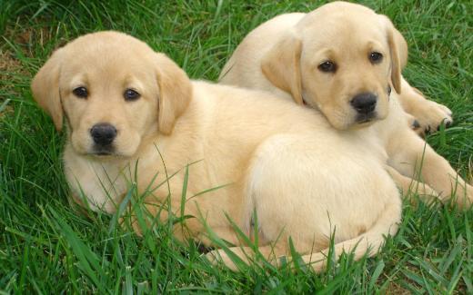 Reinrassige Labrador welpen Babys suchen ein liebevolles Zuhause