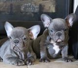 Wunderschöne Franzosische Bulldogge suchen ein neues Zuhause - Bad Zwischenahn
