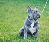 Französische Bulldogge lilac trindle tan Deckrüde - Zeven