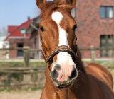 Suche liebe Reitbeteiligung für Quarter-Horse - Bremen