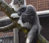 Norwegische Waldkatzen - Otterndorf