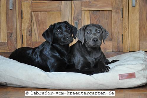 Vorerzogene Labradorwelpen in schwarz (Greta) & charcoal (Luka & Cosby) - 13 bzw. 16 Wochen alt