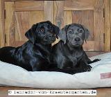Vorerzogene Labradorwelpen in schwarz (Greta) & charcoal (Luka & Cosby) - 13 bzw. 16 Wochen alt - Rehden