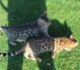 Unsere Bengalkitten Cayenne und Celine suchen noch ein Zuhause auf Lebenszeit - Emstek