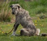 Wolfshund-Mischling, toller Charakter! - Bockhorn (Friesland)
