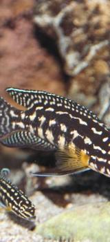 Julidochromis Marlieri / Schachbrett-Schlankcichliden, Tanganjika - Tarmstedt