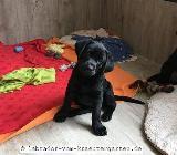 Labradorwelpen in braun (Rüde) & schwarz (Mädels) - abgabebereit - Rehden
