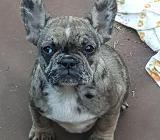 Französische Bulldogge Rüde und Hündin - Zeven