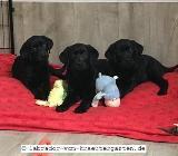Bibi & Conni: Noch 2 Labrador Welpen in schwarz - abgabebereit - mit Papieren - Rehden