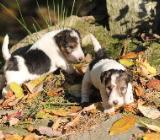Bezaubernde Drahthaar-Foxterrier Welpen in liebevolle Hände abzugeben - Bassum