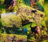 Zwei süße Kaninchenteckel-Welpen suchen... - Friesoythe