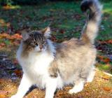 Wunderschöne Kitten zu verkaufen - Harpstedt