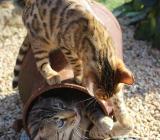 2 Bengalkitten suchen noch ein neues Zuhause - Emstek
