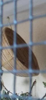 Junge Wellensittiche August 2018 und etwas ältere Tiere aus Außenvoliere - Stuhr
