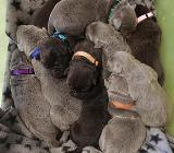 Labrador Welpen in silver (silber) und dark chocolate - mit Papieren - Rehden