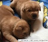 Labrador Welpen in gelb und foxred - mit Papieren - Rehden