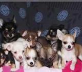 Chihuahua Welpen mit FCI Papiere in verschiedenen Farben - Kirchdorf (bei Sulingen)