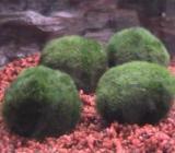 Mooskugeln - Moosbälle - Aquariummoos - ca 3cm Durchmesser - Wagenfeld