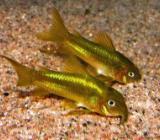 Corydoras Gold Stripe - Panzerwelse Gold Laser - Wagenfeld