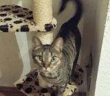 3 Katzen aus beruflichen Gründen in liebe Hände abzugeben - Bremerhaven