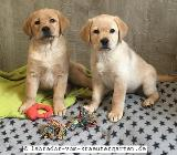Noch 2 Labrador Welpen in foxred bzw. gelb - mit Papieren - abgabebereit - Rehden