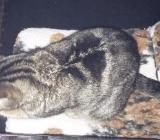 Katze zugelaufen - Wildeshausen